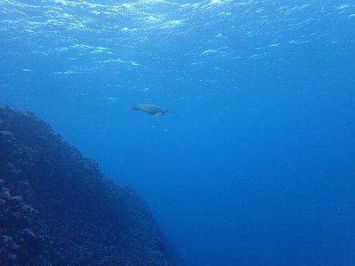 ウミガメ見つつ沖まで出ていき