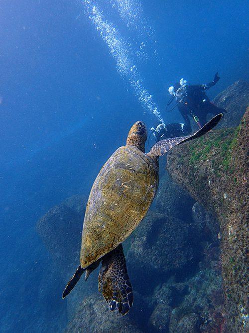中くらいのアオウミガメ