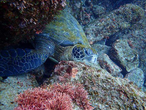 岩の顔のせて休憩してたアオウミガメ