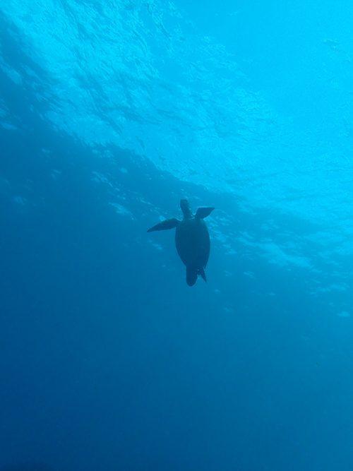 上の方にはアオウミガメ