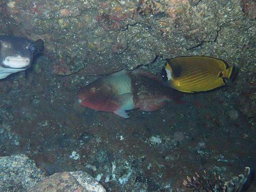 穴の奥の方で休んでる魚達