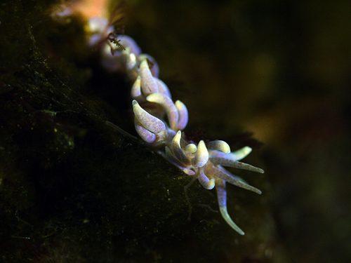 ムロトミノウミウシ