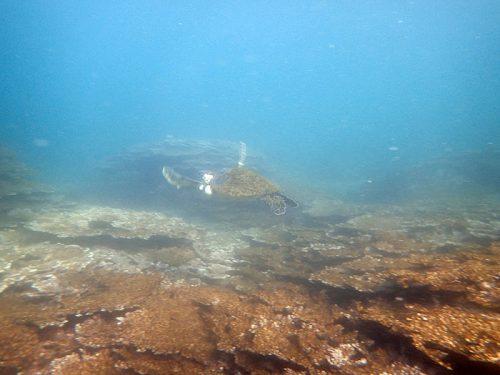 全力で逃げていってたアオウミガメ