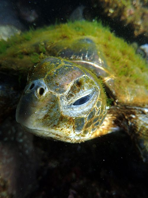 甲羅苔むすアオウミガメ