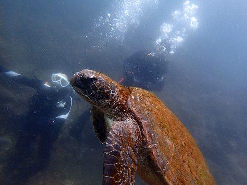 ゆっくり近づきウミガメ見てみて