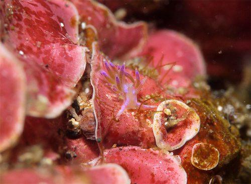 セトミノウミウシ