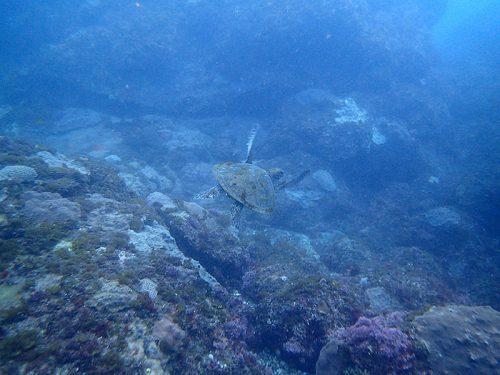 泳ぎ去ってくアオウミガメ
