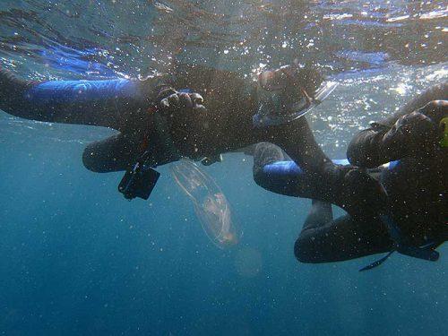 ちらほら流れてきてたクラゲの仲間