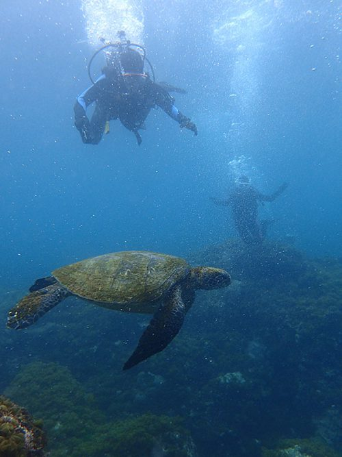 戻る途中でも中くらいのアオウミガメが泳いでいたり