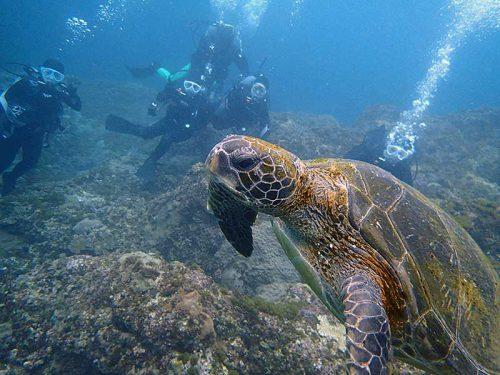 泳いでく中くらいのウミガメを皆で見てみて