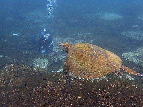 サンゴの浅場でウミガメ見たり