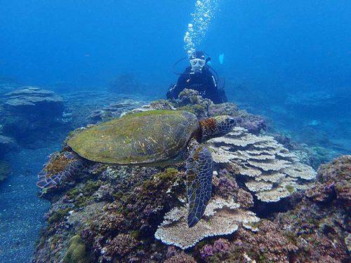 サンゴの広がる浅場でアオウミガメを見てみたり