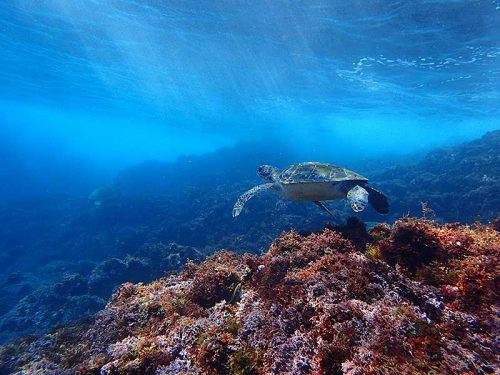 のんびり海草食べてたアオウミガメ