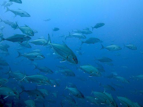 沖からヒレナガカンパチの群れがやってきて