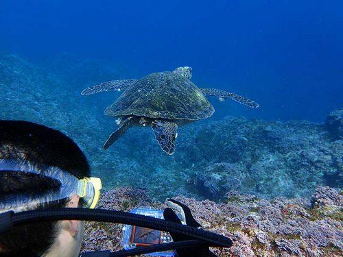 アオウミガメと一緒に泳いで八重根の海を周っていって