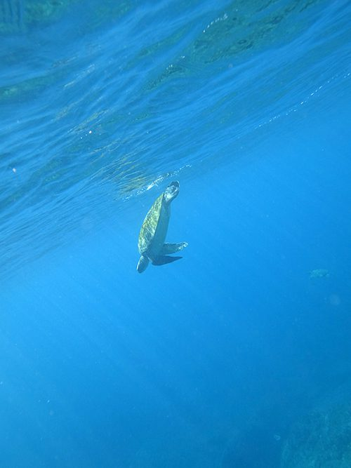 水面付近に上がってきていたウミガメなんかも見られたり