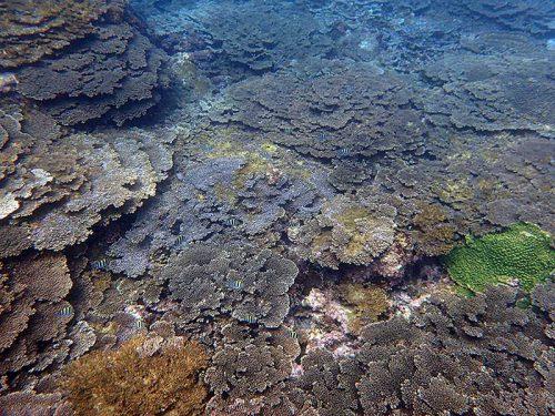 サンゴの上にはオヤビッチャとか集まっていて