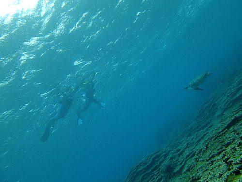 小ぶりなウミガメ泳いできたり