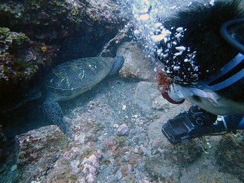 隙間に隠れようとしてたアオウミガメ