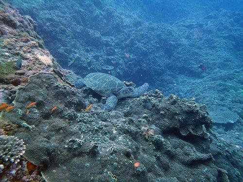 根上で休んでたアオウミガメ