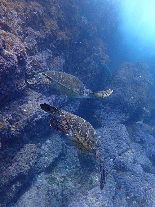 アオウミガメは浅場にたくさん集まっていて
