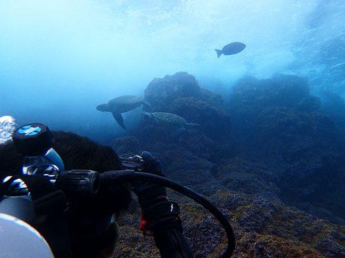 浅場に集まってたアオウミガメ達