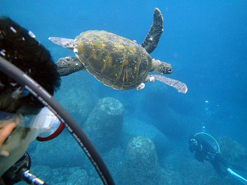 ウミガメと一緒にちょっと泳いでみたりもして