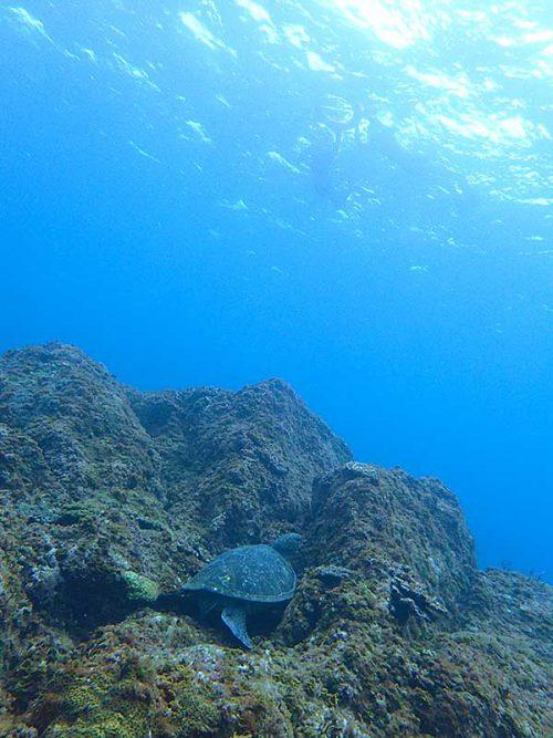 根上で休憩していたアオウミガメ