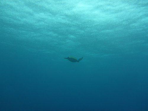 暖かいとこ泳いでたアオウミガメ
