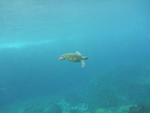 手前の暖かなところでのんびり泳ぐアオウミガメ