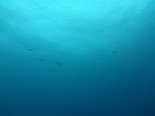 上を泳ぎ去ってくヒラソウダっぽいやつら