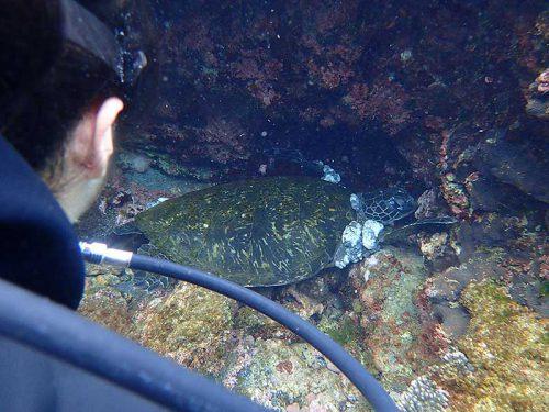 岩の隙間にハマって休むアオウミガメ