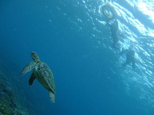 のんびり泳ぐウミガメ上から眺めていきまして