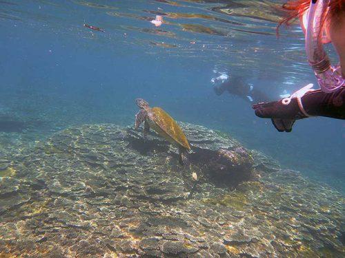のんびり泳ぐウミガメ見つけ