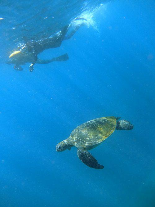 のんびり泳ぐウミガメと一緒にシュノーケリング