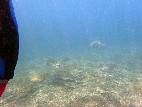 ウミガメ2匹集まってたり