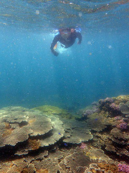 サンゴの上にはソラスズメダイいたり