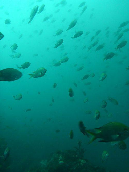 キホシスズメダイとか魚はたくさんおりますが