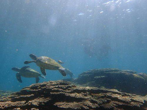 サンゴのところに集まるウミガメ見に行って
