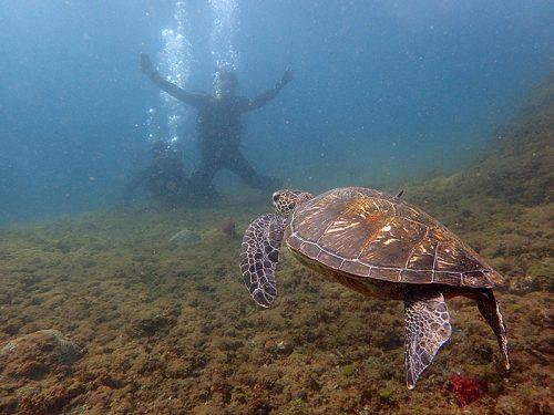 ウミガメゆっくり泳いできたり
