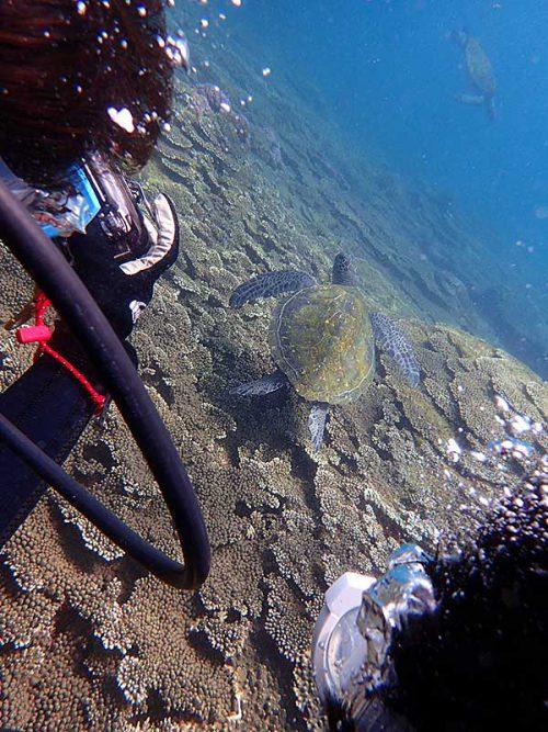 浅場に集まるウミガメ見に行って