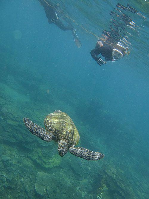 サンゴのところは今日もウミガメ泳いでて