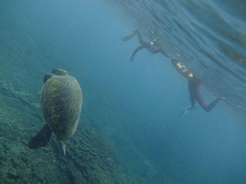 水面近くでもじもじしてたアオウミガメ