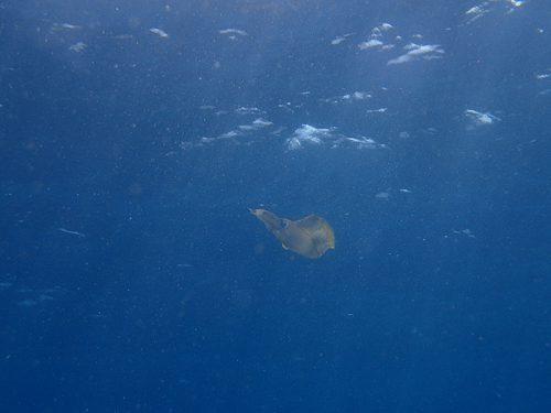 水面近くにはアオリイカの大きいやつらもおりまして