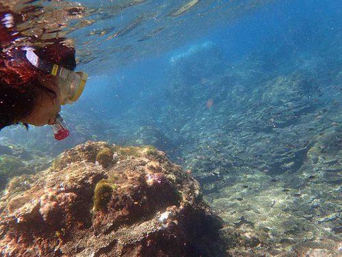 サンゴの上にはキホシスズメダイの子ども達もたくさんで