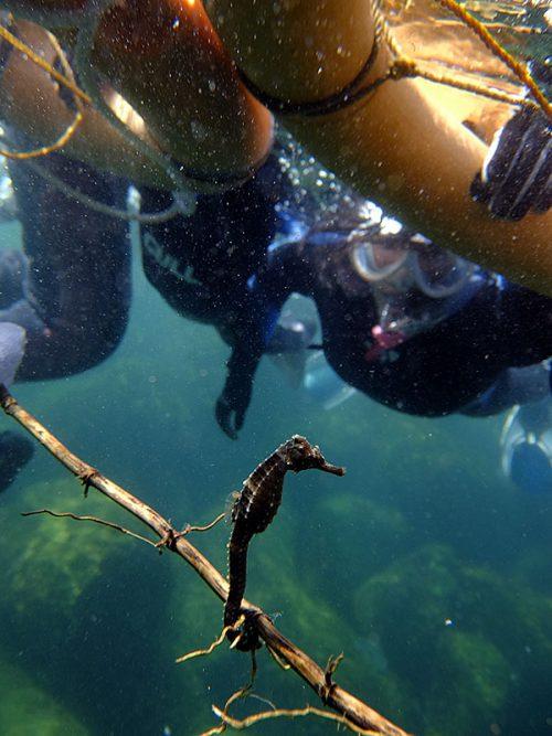 タツノオトシゴの仲間が枝につかまり浮いてたり