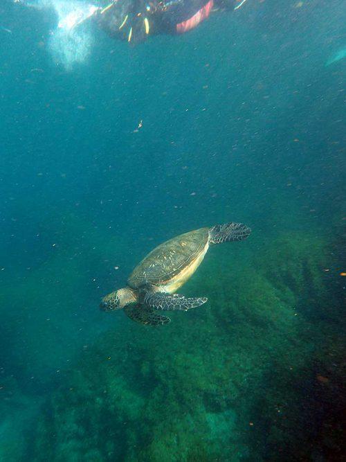 暖かな湾内で今日はウミガメたくさん見かけ