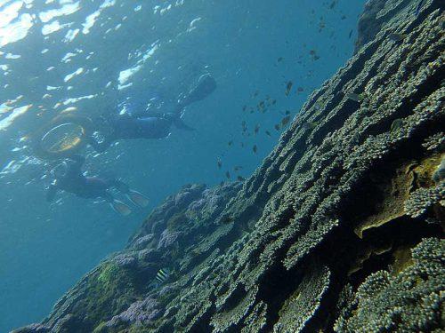 サンゴの上には魚もたくさん