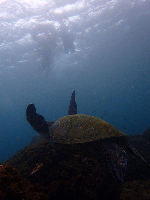 上から泳ぐウミガメ見てみたり