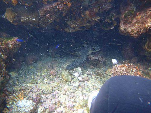 根の陰休憩していたアオウミガメ